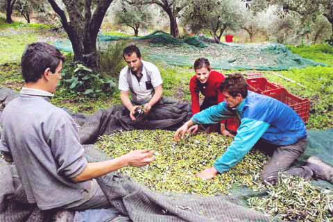 Picking-The-Olives